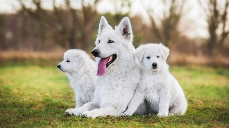 Svájci fehér juhászkutya tenyészet: Neveljen intelligens és szép kutyát házőrzőnek!