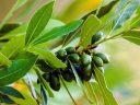 Babérfa – Neveljen fűszernövényt otthonában!