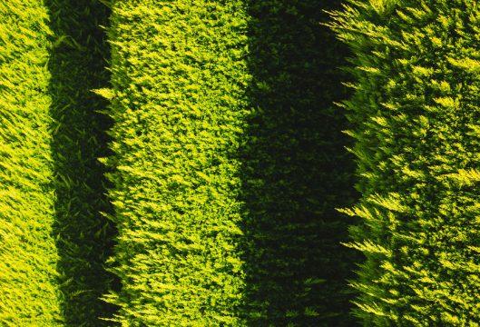 leylandi-ciprusnak.jpg